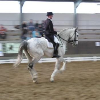 Ein Foto von einem Reiter auf einem weißen Pferd bei der Dressur in einer Reithalle.